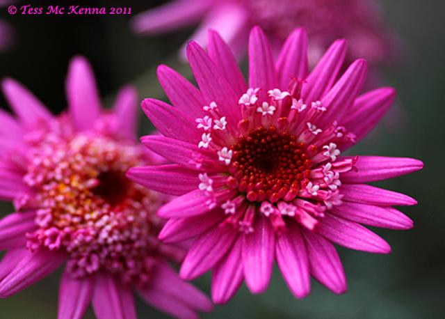 Argyranthemum frutescens 108 aka Marguerite Daisy