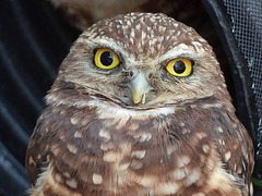 Who can resist a Burrowing Owl?