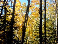 Autum Birches