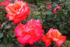 Roses de concours