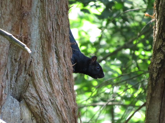 Black fox squirrel