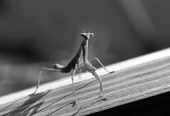 Curious Mantis