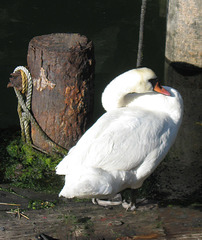 Mute Swan by the Bay