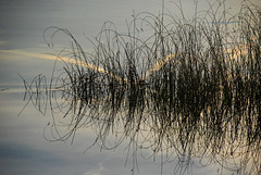 Gräser im Wasser