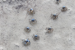 Crab Individuals - Blue Soldier Crabs