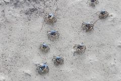 Crab Individuals - Blue Soldier Crabs