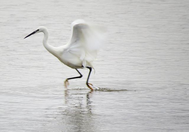 little egret in wells harbour, norfolk
