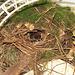 Carolina wren in nest