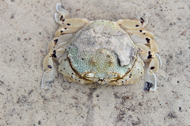A Spotted Moon Crab