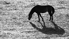 Horse and shadow