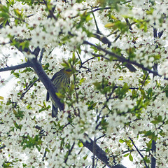 Day 3, Cape May Warbler, on way to Hillman Marsh, Ontario
