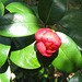 Camellia japonica Opening (Explored)
