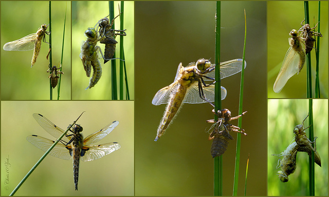 Eén en dezelfde uitsluipende Libel...  Four-spotted chaser ~ Viervlek Libel (Libellula quadrimaculata)...