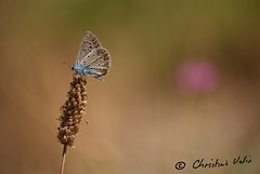 little blue butterfly!