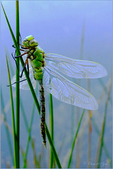 Just born Emperor Dragonfly ~ Grote keizerlibel (Anax imperator)...