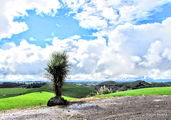 Lonely Cabbage Tree