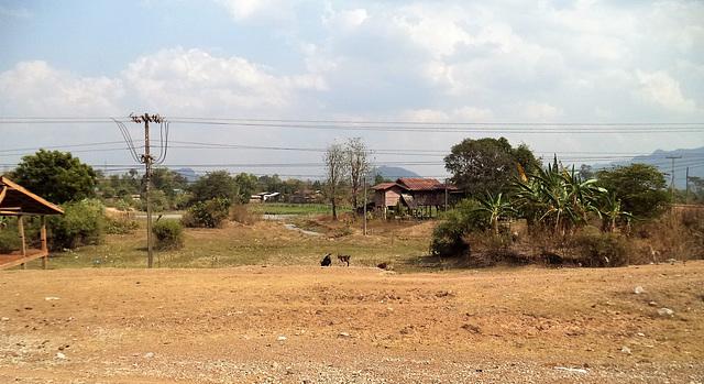 Chèvres laotiennes / Laotian goats