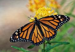 Monarch butterfly.  6076102