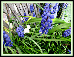 Grape Hyacinths and Snowdrops.