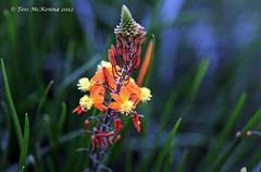 Asphodelaceae Bulbine Caulescens 147 copy