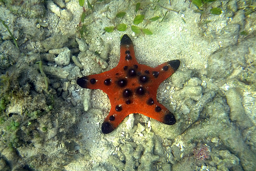 A Small Knobby Sea Star