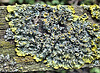 Lichen 1. Xanthoria