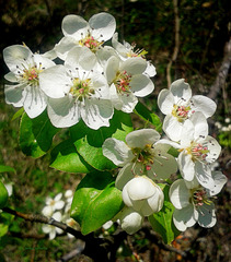 Blooming of wild pear