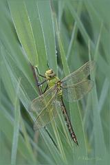 Emperor Dragonfly ~ Grote keizerlibel (Anax imperator),  heerlijk rustend vroeg in de ochtend...