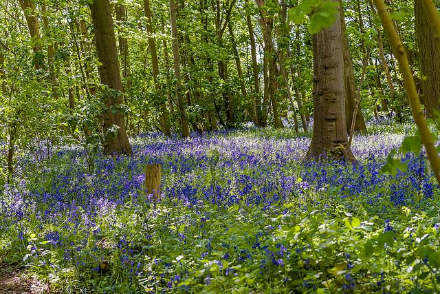 Bluebell woods at Burton rspb.3jpg