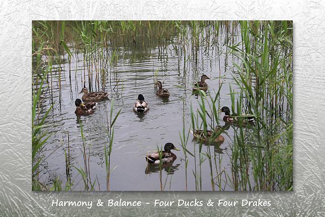 Ducks & Drakes - Drove Park - Denton - Sussex - 17.6.2015