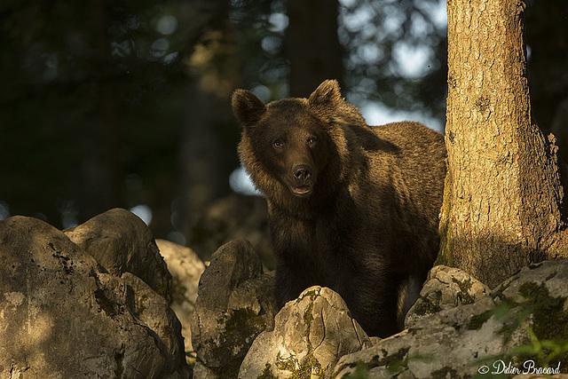 ours brun (slovénie)