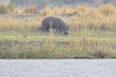 Hipopotamo. Ĉobe Nacia Parko