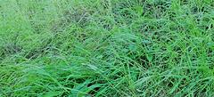 Green Puff