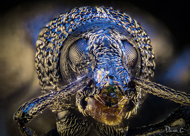 Weevil Portrait