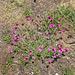 Dianthus carthusianorum - Kartäuser-Nelke, Oiellet des Chartreux