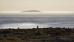 Rabbits & Mist, Skokholm Island