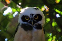 Une chouette à lunettes . Zoo de Beauval