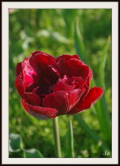 ** Tulipe **