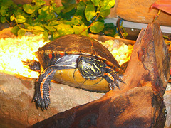 Das Hallo der Schmuckschildkröte