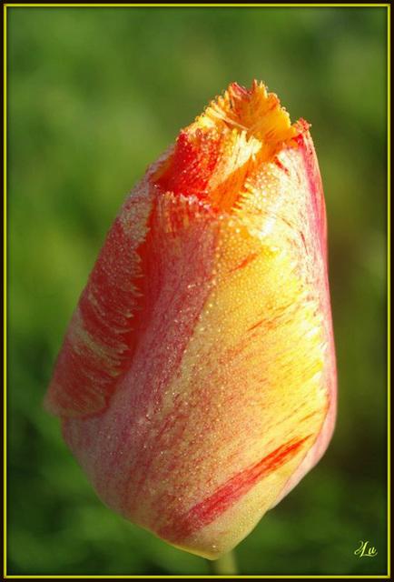**Tulipe **