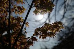 petites feuilles d'érable (miniature Maple leaves)