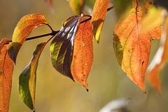 Dogwood (Cornus sanguinea) leaves