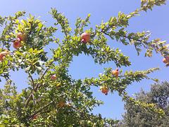 L'albero del melograno che ho messo nel giardino con il sole è veramente bello