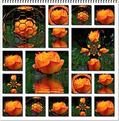 Collage  à partir d'une rose du jardin et Mirror Lab