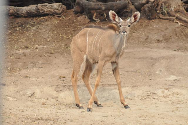Ina kuduo. Ĉobe Nacia Parko