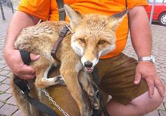 Ein gezähmter Fuchs - 2 Jahre jung