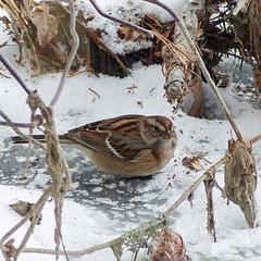 American Tree Sparrow / Spizelloides arborea