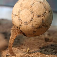 Fußball mit Schwanz (Zoo Heidelberg)