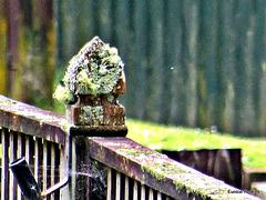 Lichen on Fence Post.