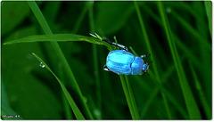 Insecte bleu